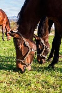Glückliche Pferde auf der Wiese im  Reit- und Zuchthof Strobl im Salzkammergut