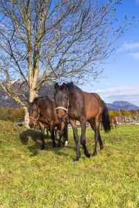 Glückliche Pferde auf der Weide im  Reit- und Zuchthof Strobl im Salzkammergut